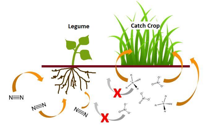 u.2.legume +catch crop.png