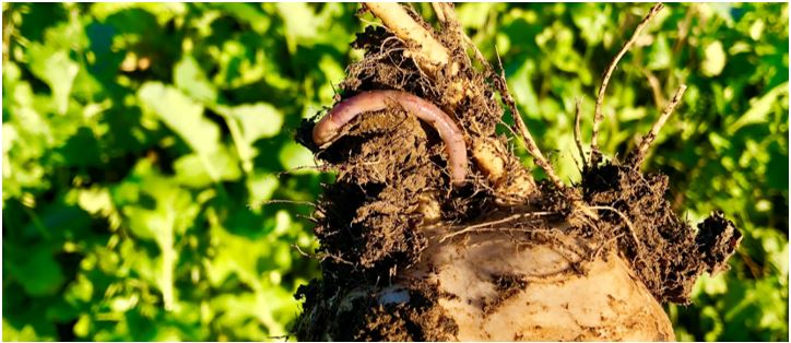 u.2.worm.JPG